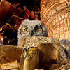 Owlet Portraits : A one-month old Great Horned Owlet, nesting on the trunk of a palm at the Westward Look Resort in Tucson, AZ.