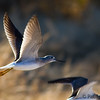 Santa Cruz River Shorebirds : I took these by the Santa Cruz River at the Ina Road Bridge, in Tucson, AZ.  Unfortunately, I was on the wrong side of the sun, so the lighting and shadows were harsh.  Still, I think I got some interesting shots.
