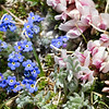 Rocky Mountain Tundra Garden : A miniature flower garden growing in the alpine tundra, at around 12,200 feet, in Rocky Mountain National Park.